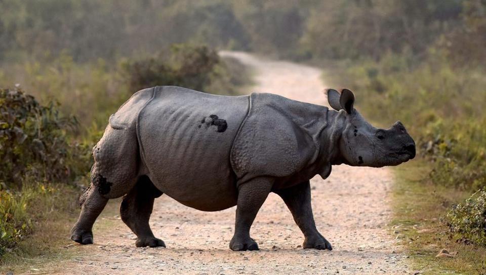 A one-horn rhino crosses a road inside the Kaziranga National Park in Assam.