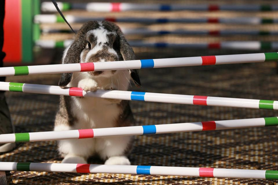 A rabbit refuses to jump over an obstacle during a rabbit track and field competition. (RADEK MICA / AFP)