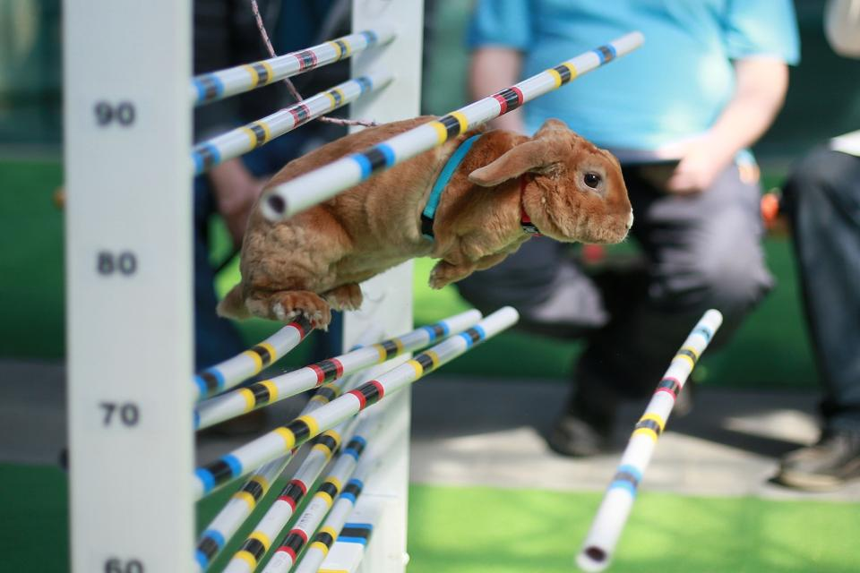 A rabbit fails to jump over an obstacle during a rabbit track and field competition on the sidelines of a hunting exhibition in Kromeriz, about 60 km east of Prague.  (RADEK MICA / AFP)