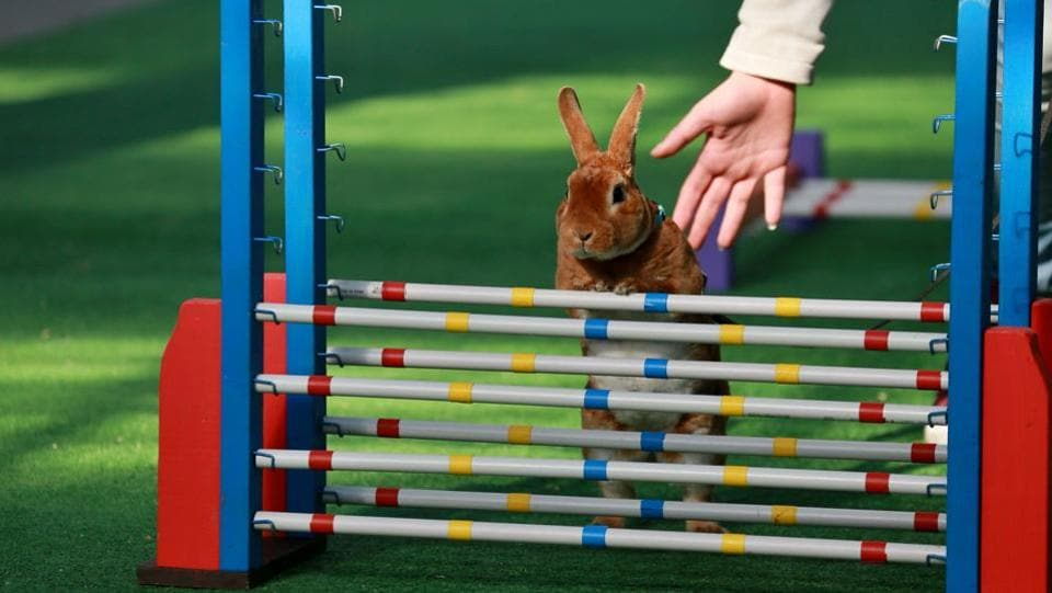 A rabbit tries to jumps over a hurdle. (RADEK MICA / AFP)