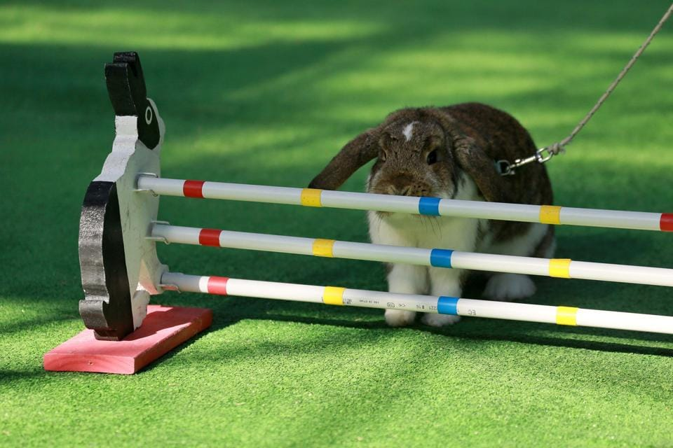 A rabbit  stops befor crossing the  obstacle during a rabbit track and field competition. (RADEK MICA / AFP)