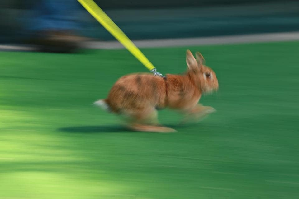 A rabbit runs during a rabbit track and field competition. (RADEK MICA / AFP)