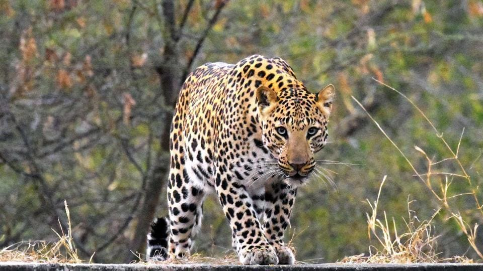 A question of territory? Kathmandu is close to forested hills and leopards are occasionally known to stray into the city.