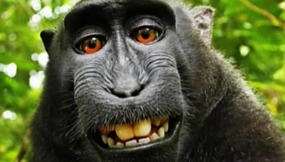 crested black macaque,selfie monkey,Indonesia selfie monkey