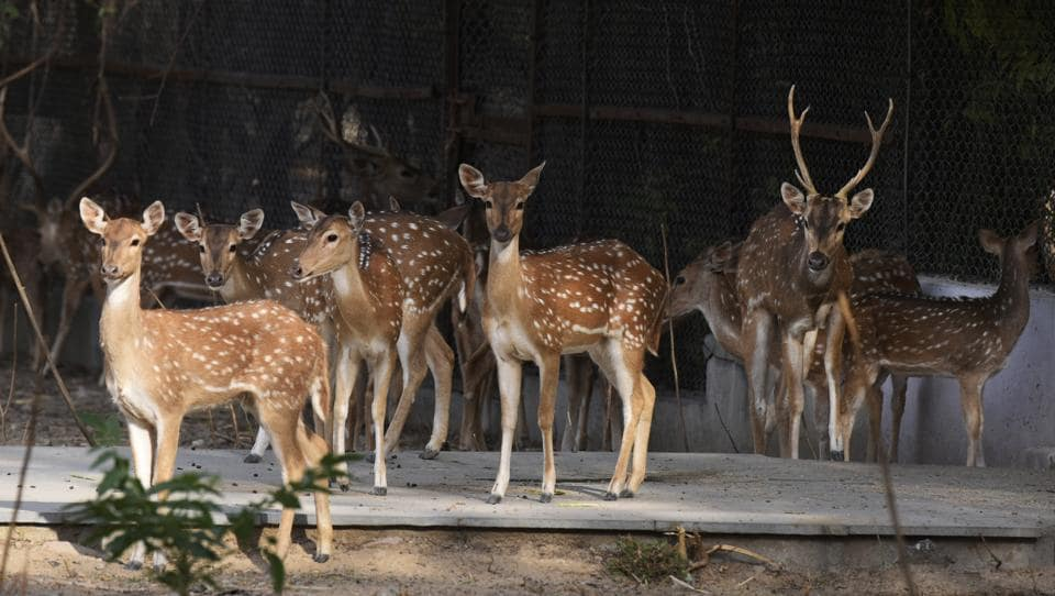 A herd of spotted deer at Delhi Zoo on Tuesday.