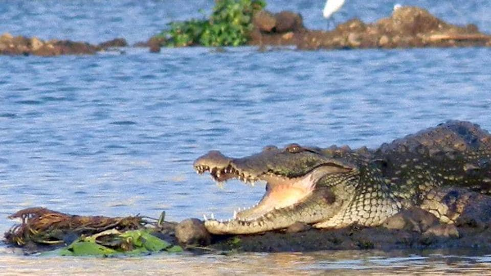 A six-year-old girl saved her schoolmate from a crocodile attack in Odisha.