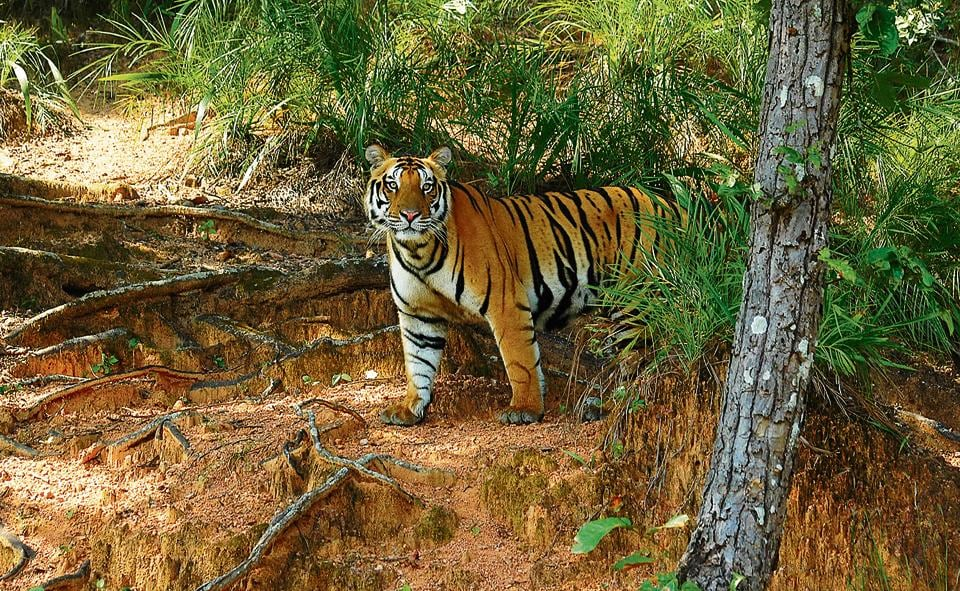 Photographic Field Guide - Wildlife of Central India,David Raju & Surya Ramachandran,Tigers