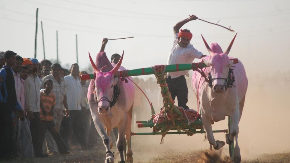 Bullock cart races were banned after the Supreme Court declared that the race as violative of the provisions of the central act in 2014.