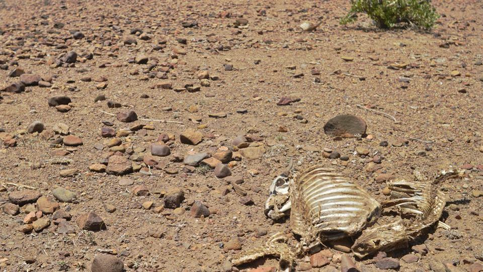 A dead animals lies in the sun near Lokitaung in northern Kenya's Turkana county where a biting drought has ravaged livestock population. (TONY KARUMBA / AFP)