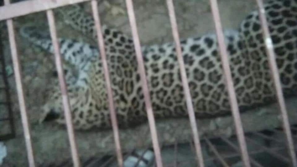 The leopard was tranquilised at around 6am and captured in a cage before being shifted to a forest reserve in Saharanpur for its release.