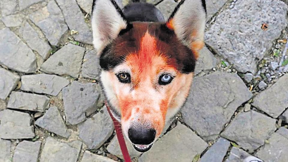 A dog with vermillion on its head during a Hindu festival. A man was charged with animal cruelty after at least nine emaciated dogs were found on his property in New York