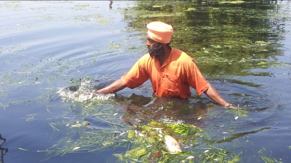 On Saturday, Padma Shri awardee Seechewal and his followers volunteered to remove dead fish from the river. Around 10 trolley loads of dead fish have been removed from Bein since Friday.