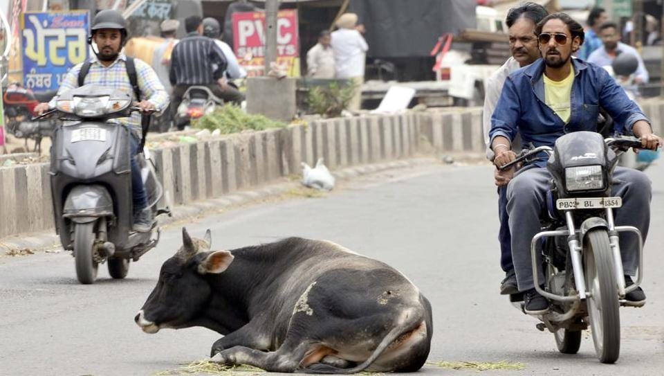 Stray cows are often found in the middle of the roads, causing problems to commuters.