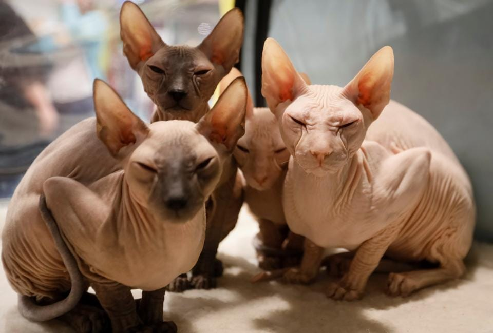 Peterbald kittens sit inside their cage during a regional cat exhibition in Almaty, Kazakhstan April 8, 2017.  (Shamil Zhumatov / REUTERS)
