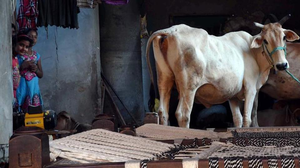 Cows at a house at Bishada village where Mohammad Ikhlaq was lynched by a mob after rumours of beef eating in Dadri.