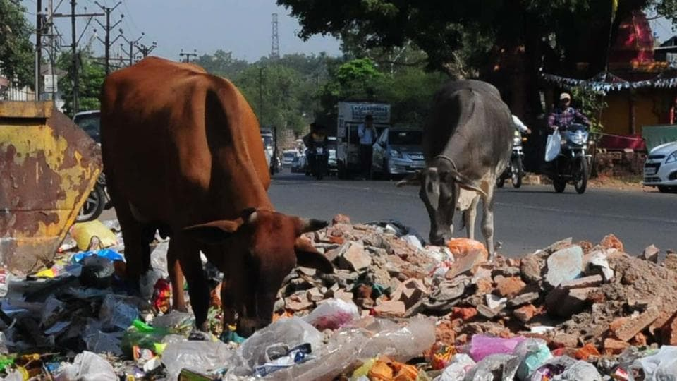 Consumption of polythene bags leads to a large number of cow deaths in  Madhya Pradesh  and other parts of the country.