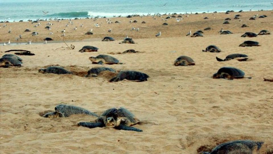 The phenomenon of birth of babies sans mothers marks the culmination of annual visit of the turtles along Odisha coast, billed as the world's largest nesting ground of these aquatic animals at Gahirmatha beach.