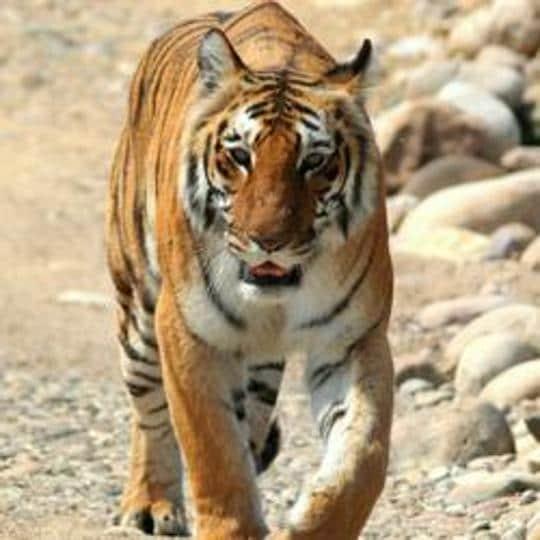 Uttarakhand,High court,Tiger deaths