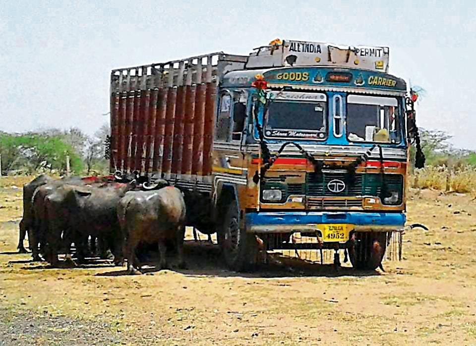 The death of Haryana dairy farmer who was assaulted by gau rakshaks, weighs heavy on the minds of cattle transporters, even if their cargo are buffaloes.