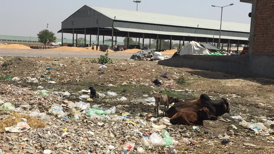 Stray cattle are a common sight near the new grain market in Faridkot.