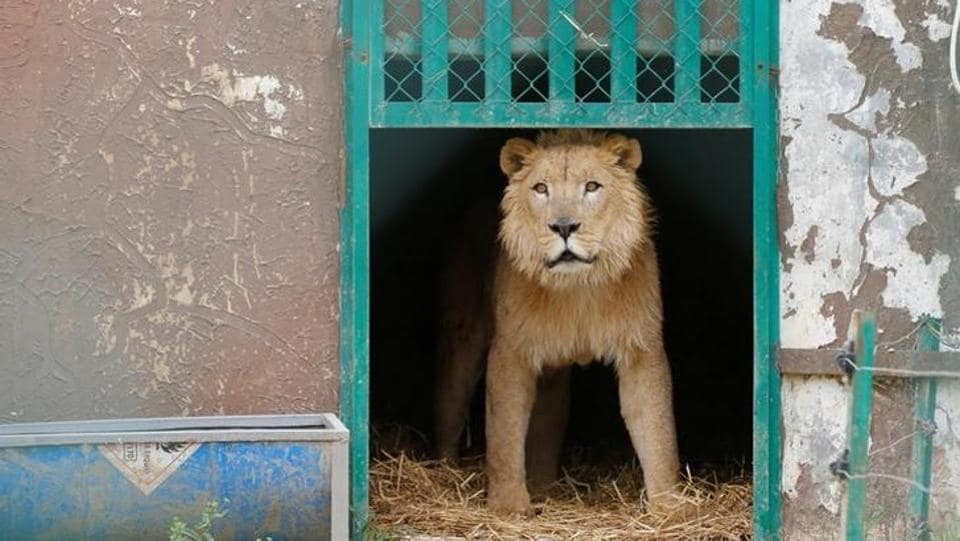 Simba at an enclosure in the shelter after arriving to an animal rehabilitation shelter in Jordan. The park, located in Eastern Mosul, was retaken by Iraqi forces earlier this year.  (Muhammad Hamed/reuters)