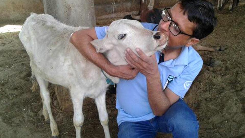 Dr Aftab Ahmed Khan with a calf.