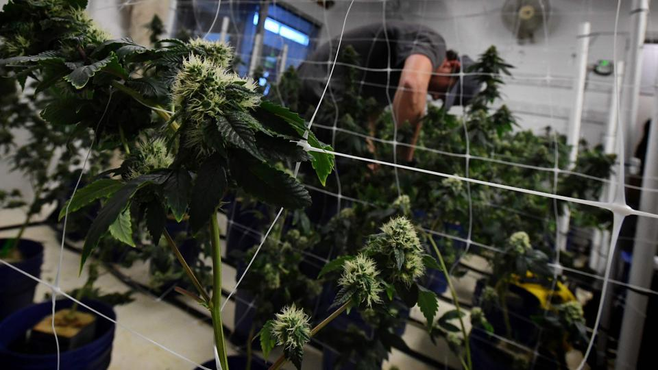 A worker tends to cannabis plants growing at the wellness center in Los Angeles, California on March 24.