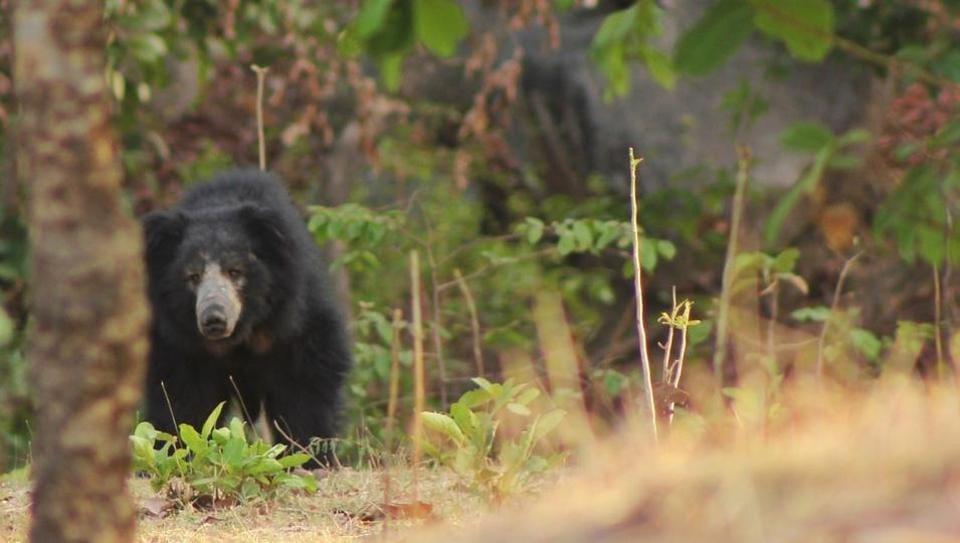 Bears,Sloth bears,Maharashtra