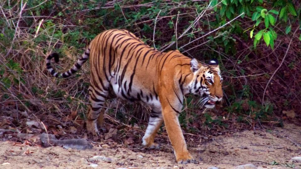 Uttarakhand News,Wildlife Crime Control Bureau,Tiger