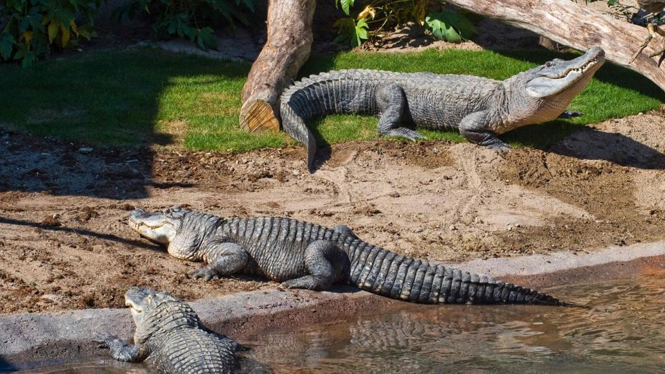 In 1967, alligators were listed as an endangered species, but they have since recovered. (Thierry ZOCCOLAN / AFP)
