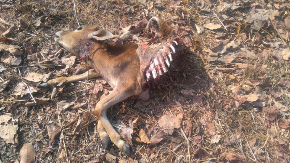 The half-eaten carcass of the calf that belonged to Jitendra Mhatre.