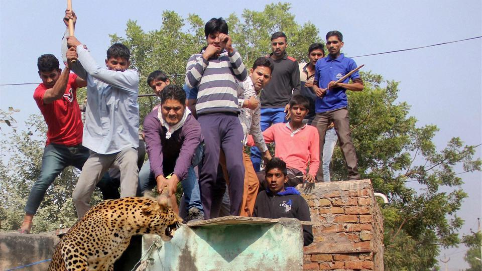 In November 2016, a three-year-old leopard was beaten to death by the villagers of Mandawar after the animal strayed into the village.