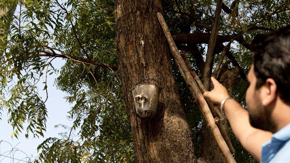 Scientists believe the oozing of the sap from the Neem tree could have stopped due to the heat wave.