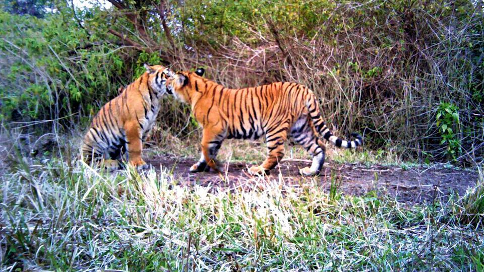 A pair of tigers playing inside forest at Gohri Range of Rajaji Tiger Reserve.