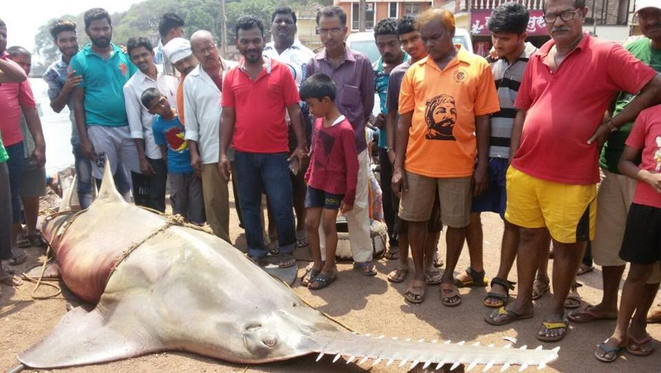 A sawfish that had washed ashore after its snout got entangled in a gillnet.