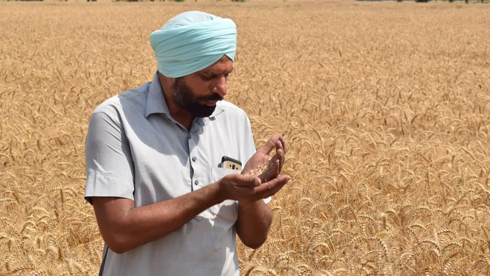 A farmer checking the grain of wheat being harvested in fields near Jalandhar. (Sikander Singh Chopra/HT)
