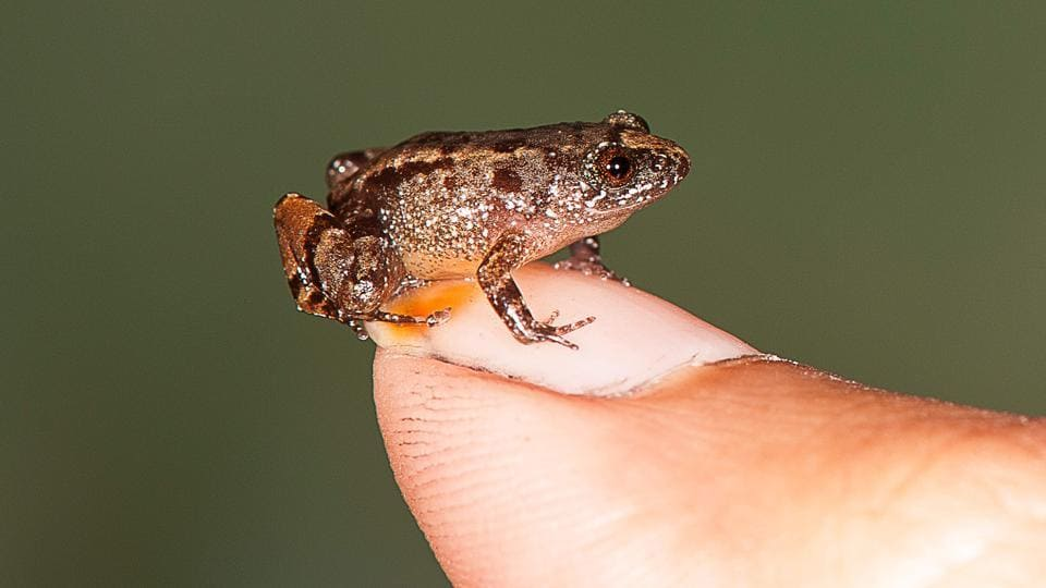 This handout photograph received from SD Biju on February 16, 2017, shows a 13.6mm Vijayan's Night Frog. Scientists have discovered four new species of miniature night frogs in the lush Western Ghats mountains.