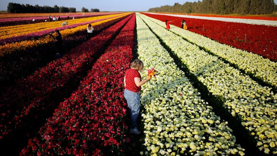 Flower bulbs from the southern Israeli Kibbutz of Nir Yitzhak, located along the Israeli-Gaza Strip border, will be mostly exported to Europe. (Amir Cohen  / REUTERS)