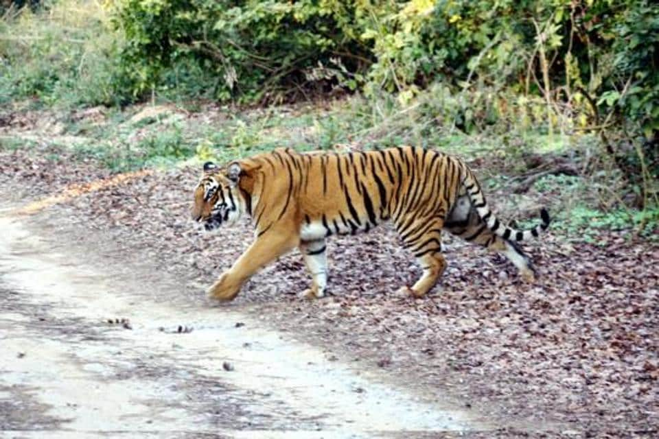 tiger,gir lion,gujarat