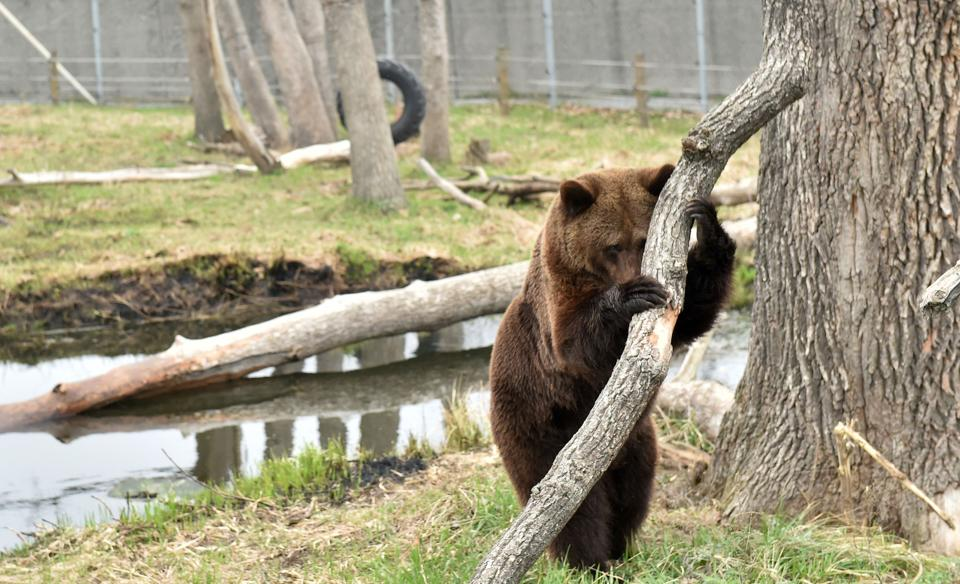 A bear stands in a shelter for bears rescued from circuses and private restaurants of Ukraine, near Zhytomyr, some 150 km west of Kiev. (Sergei Supinsky / AFP)