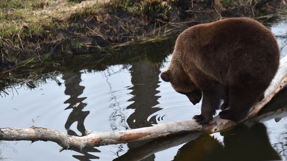 A brown bear stands on a log in an artificial lake in a shelter for bears rescued. (Sergei Supinsky / AFP)