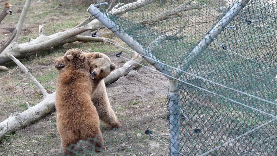 Brown bears play in a shelter for bears rescued from circuses and private restaurants of Ukraine, near Zhytomyr, some 150km west of Kiev. (Sergei Supinsky / AFP)