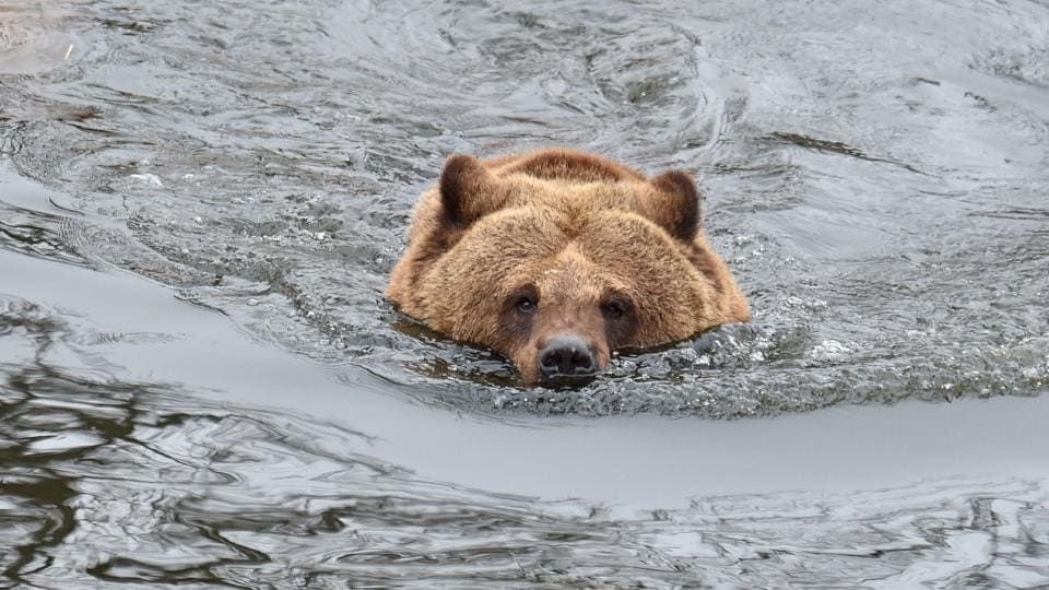 A brown bear swims in an artificial lake in a shelter. (Sergei Supinsky / AFP)