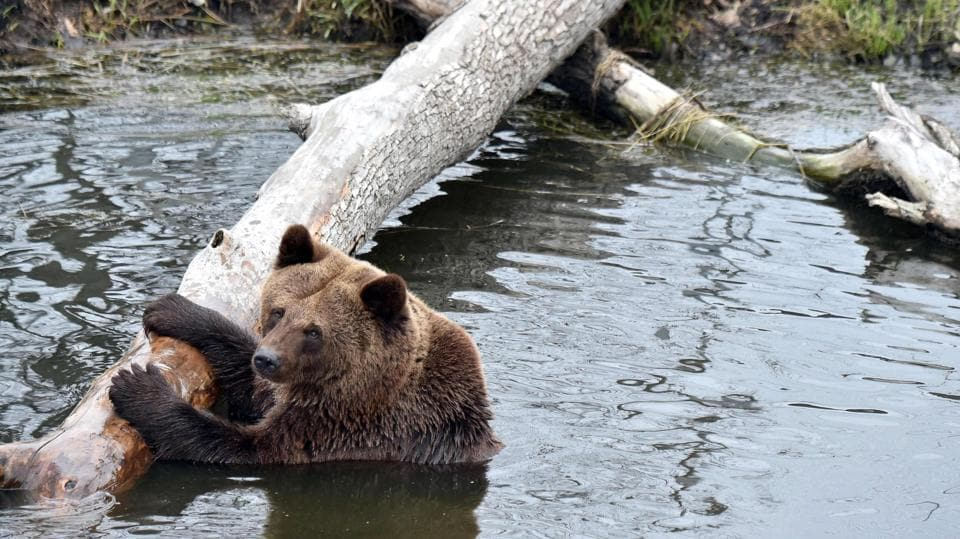 A brown bear relaxes in an artificial lake . (Sergei Supinsky / AFP)
