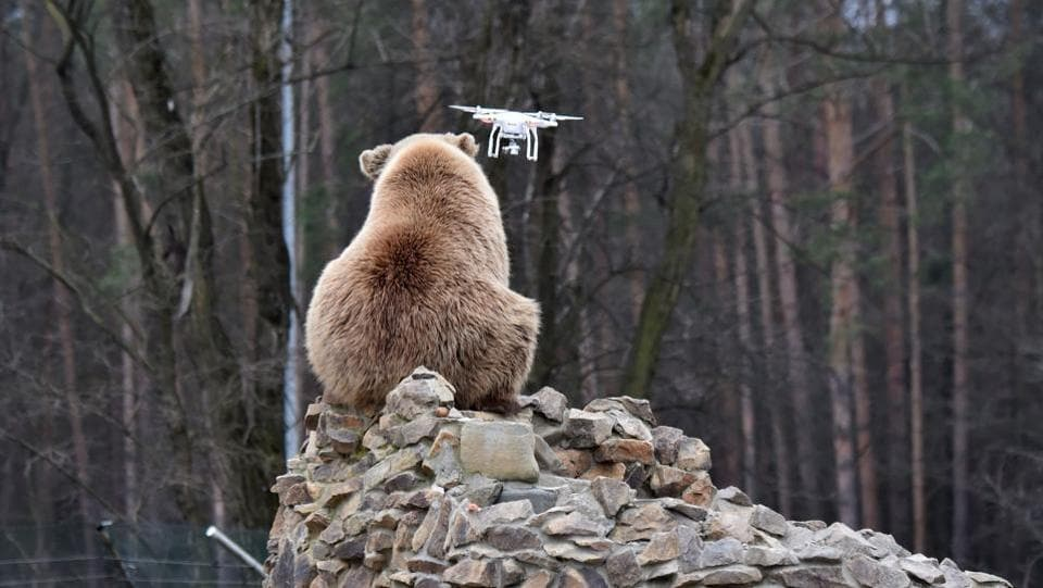 A brown bear reacts to a quadrocopter drone launched by a visitor. (Sergei Supinsky / AFP)