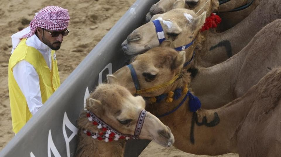 A marshal tries to control the camels behind the start barrier a few seconds ahead of a race at the Al Marmoom Camel Racetrack, in al-Lisaili about 40 km (25 miles) southeast of Dubai, United Arab Emirates.  (Kamran Jebreili / AP)