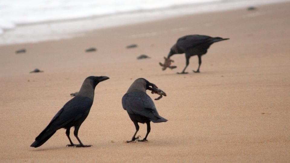A group of crow enjoying the feast after baby turtles make there way to the shores. (Arabinda Mahapatra / HT Photo)