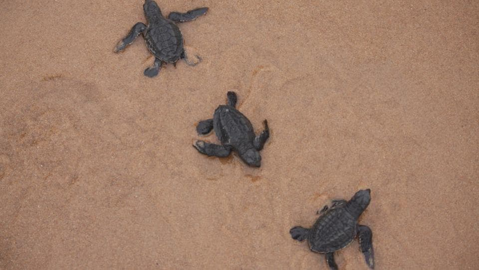 Turtles after emerging from the nests.  (Arabinda Mahapatra / HT Photo)