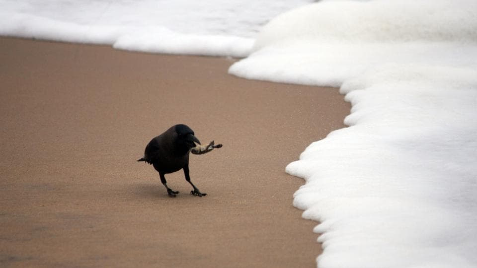 A crow catches a baby turtles that was making  its  way to the shore. (Arabinda Mahapatra / HT photo)