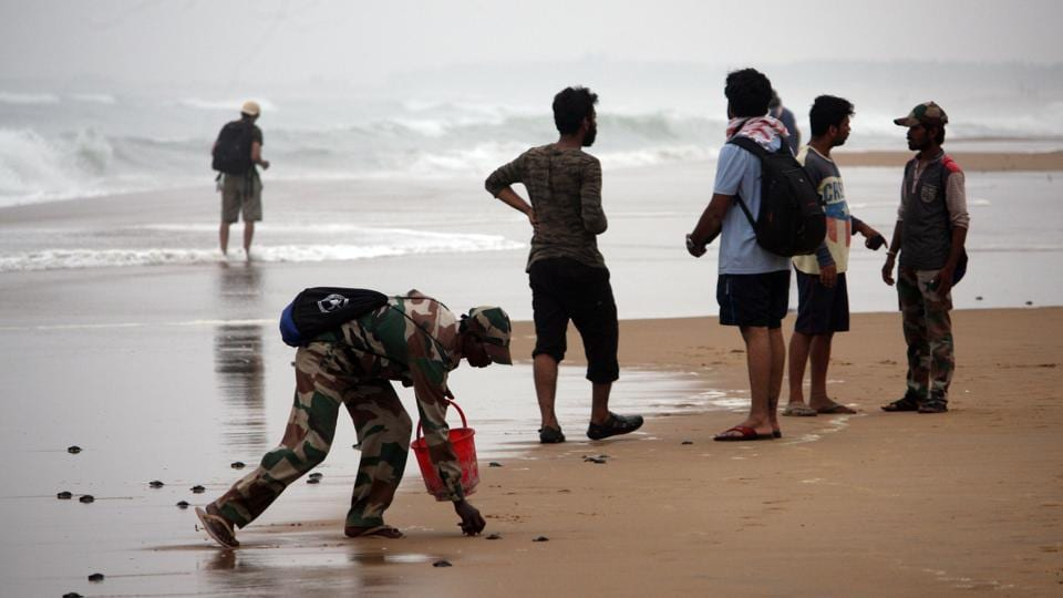 To save the millions of turtle hatchlings who will be heading towards the  land instead of the ocean after emerging from the pits, the forest department has cordoned off the nesting beaches with fences.  (Arabinda Mahapatra / HT photo)